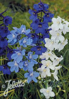 DELPHINIUM Belladonna  'Connecticut Yankee' Portion(s)