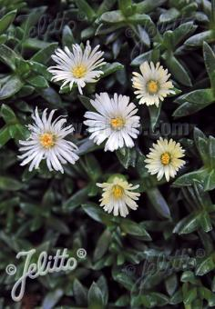 DELOSPERMA congestum f. album  'White Nugget' Portion(s)