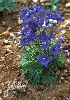 DELPHINIUM grandiflorum  'Blauer Zwerg' Portion(en)