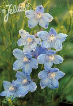 DELPHINIUM grandiflorum f. compactum Butterfly-Series 'Light Blue Butterfly' Portion(s)