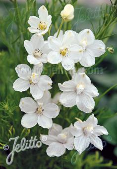 DELPHINIUM grandiflorum f. compactum Butterfly-Series 'White Butterfly' Portion(s)