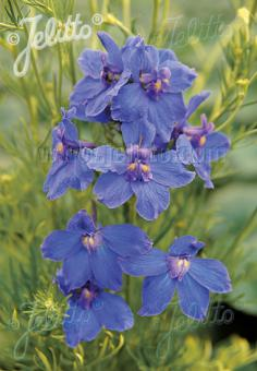 DELPHINIUM grandiflorum f. compactum Butterfly-Series 'Blue Butterfly' Portion(s)