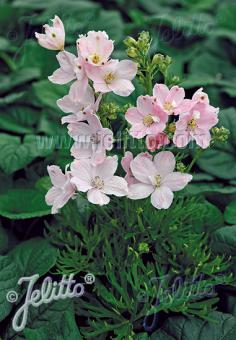 DELPHINIUM grandiflorum Summer-Series 'Summer Morning' Portion(s)