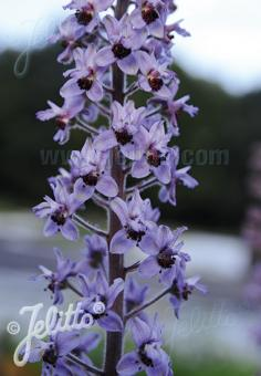 DELPHINIUM requienii   Portion(en)