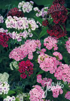 DIANTHUS barbatus  'Indianerteppich' Portion(s)