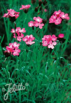 DIANTHUS carthusianorum   Portion(s)