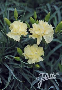 DIANTHUS caryophyllus fl. pl. Grenadin-Series 'Grenadin Yellow' Portion(s)