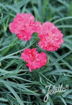 DIANTHUS caryophyllus fl. pl. Grenadin-Series 'Grenadin Pink' Portion(s)