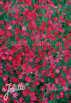 DIANTHUS deltoides  'Flashing Light' Portion(s)