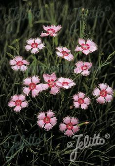 DIANTHUS gratianopolitanus  'Rosafeder' Portion(s)
