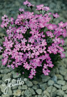 DIANTHUS nitidus   Portion(s)