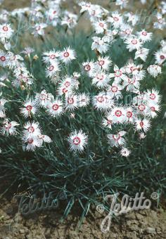 DIANTHUS spiculifolius   Portion(s)