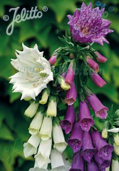 DIGITALIS purpurea  'Monstrosa' Portion(s)