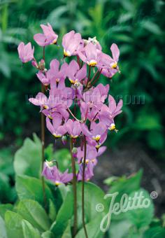 DODECATHEON clevelandii   Portion(s)