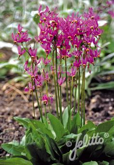 DODECATHEON meadia  'Red Colors' Portion(s)