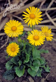 DORONICUM orientale  'Little Leo' Portion(s)