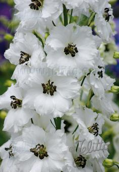 DELPHINIUM elatum New Millennium F1-Hybr. New Millennium Series 'Black Eyed Angels' Portion(s)