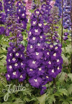 DELPHINIUM elatum New Millennium F1-Hybr. New Millennium Series 'Purple Passion' Portion(s)