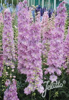 DELPHINIUM Elatum F1-Hybr. New Millennium Serie 'Pink Blush' Portion(en)