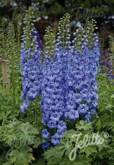DELPHINIUM Elatum F1-Hybr. New Millennium Series 'Blue Lace' Portion(s)