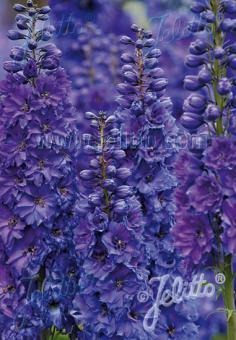 DELPHINIUM elatum New Millennium F1-Hybr. New Millennium Series 'Pagan Purples' Portion(s)