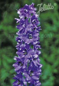 DELPHINIUM Pacific-Hybr. Magic Fountains-Series 'Magic Fountains Dark blue', dark bee Portion(s)