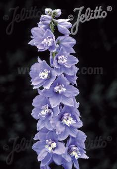 DELPHINIUM Pacific-Hybr. Magic Fountains-Series 'Magic Fountains Sky blue', white bee Portion(s)