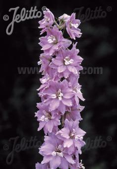 DELPHINIUM Pacific-Hybr. Magic Fountains-Series 'Magic Fountains Cherry blossom', white bee Portion(s)