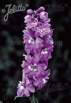DELPHINIUM Pacific-Hybr. Magic Fountains-Series 'Magic Fountains Lilac-rose', white bee Portion(s)