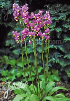 DODECATHEON meadia  'Goliath' Seeds