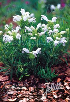 DRACOCEPHALUM argunense  'Fuji White' Seeds