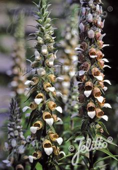 DIGITALIS lanata   Portion(en)