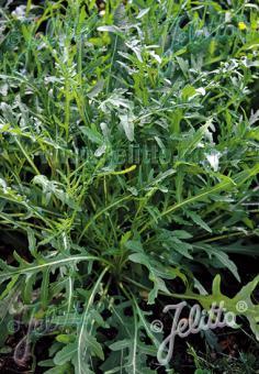 DIPLOTAXIS tenuifolia   Portion(en)