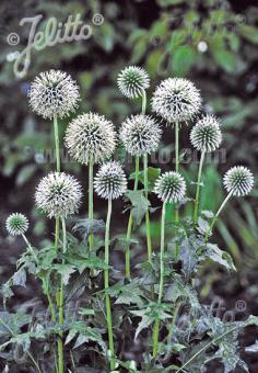 ECHINOPS bannaticus  'Star Frost' Portion(s)