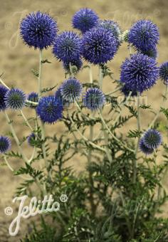 ECHINOPS ritro ssp. ruthenicus  'Platinum Blue' Portion(s)