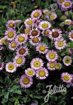 ERIGERON glaucus   Portion(s)