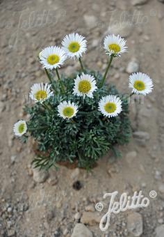 ERIGERON compositus   Portion(en)