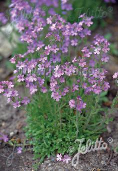 ERINUS alpinus   Portion(s)