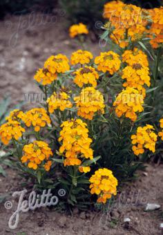 ERYSIMUM allionii   Portion(s)