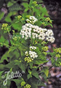 EUPATORIUM aromaticum   Portion(s)
