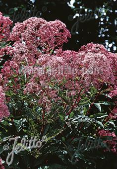 EUPATORIUM maculatum  'Atropurpureum' Portion(s)