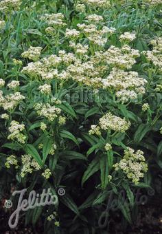 EUPATORIUM perfoliatum   Portion(en)