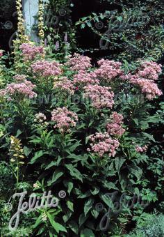 EUPATORIUM purpureum   Portion(s)