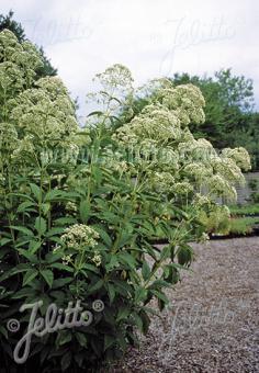 EUPATORIUM fistulosum f. albidum  'Ivory Towers' Seeds