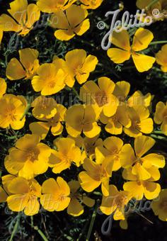 ESCHSCHOLZIA californica   Portion(s)