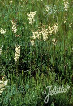 FILIPENDULA vulgaris   Portion(s)