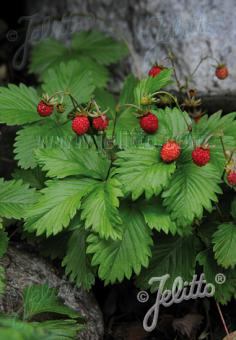 FRAGARIA vesca   Portion(s)