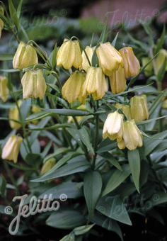 FRITILLARIA pallidiflora   Portion(s)