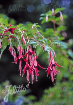 FUCHSIA magellanica   Portion(en)