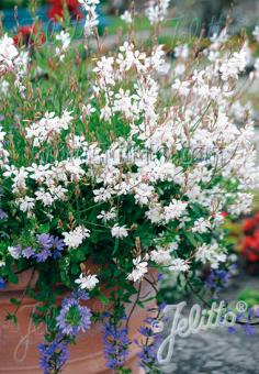 GAURA lindheimeri  'Sparkle White' Portion(s)